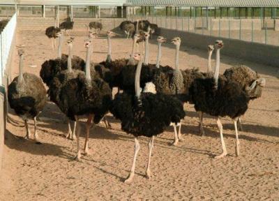 هر 5 شترمرغ به اندازه یک گوساله پرواری گوشت فراوری می نماید