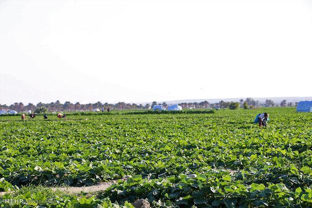 3.5 هزار هکتار از زمین های اندیمشک به سبزی و صیفی اختصاص یافت