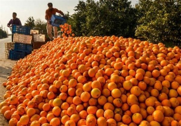 30 میلیون کیلو پرتقال با تدبیر گندید!